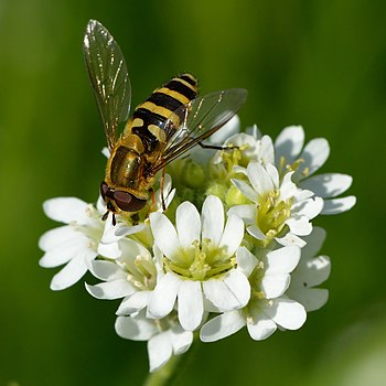 Hoverfly on the hoary alyssum