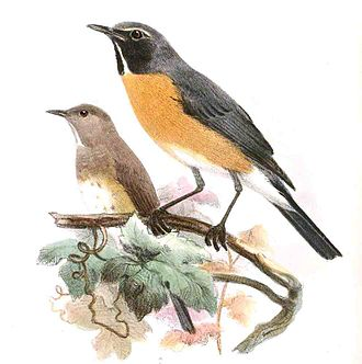White-throated robin - Image: Bessornis Albigularis Wolf, crop