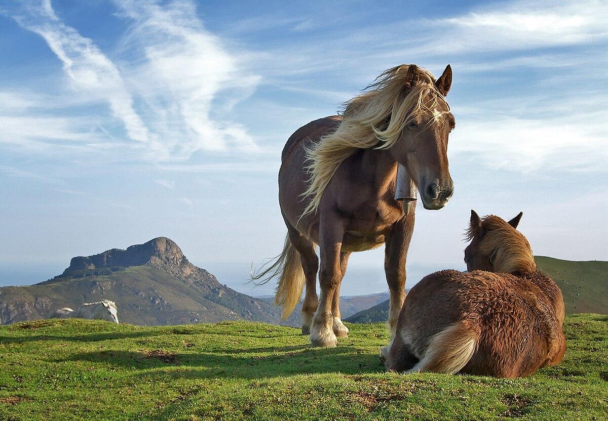 Equus ferus caballus - Wikipedia, la enciclopedia libre
