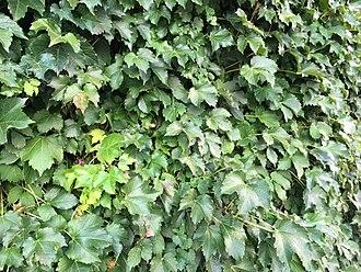 Wrigley Field - Closeup of Wrigley Field's ivy