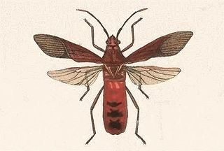 <i>Namacus</i> Genus of true bugs