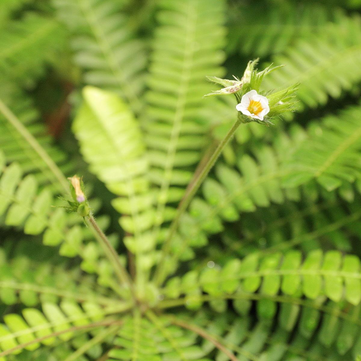 biophytum sensitivum