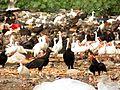 Birds at Celestún Garbage Dump - Flickr - treegrow.jpg