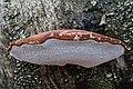 Birkenporling (Piptoporus betulinus) -20201208-RM-103404.jpg