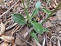 Biscutella laevigata laevigata leaves.jpg