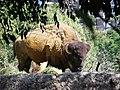 Bison, Zoo Chapultepec.jpg