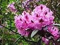 Blüten eines Rhododendron Juni 2012 Fulda.JPG