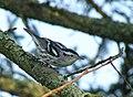 Black-and-white Warbler in Pemaquid, Maine.jpg