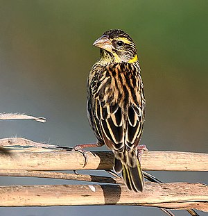 Black-breasted weaver - Female or non-breeding male in northern India
