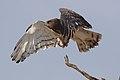 Black-chested snake eagle (Circaetus pectoralis) at Pilanesberg National Park, South Africa. (44017860895).jpg
