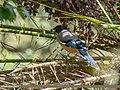 Black-headed Jay (Garrulus lanceolatus) (36926478172).jpg
