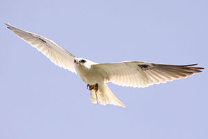 Black-shouldered kite -  Black wing patches visible in flight