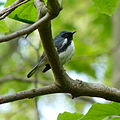 Black-throated Blue Warbler (13887005009).jpg