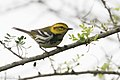 Black-throated Green Warbler ( ?? first winter male ) Mission TX 2018-03-01 08-19-56 (26752108908).jpg
