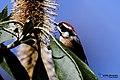 Black-throated bushtit (Aegithalos concinnus) 31.jpg