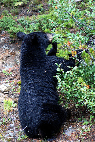 Ecology of the Rocky Mountains - The population of black bears in the Rocky Mountains is neither dramatically increasing nor decreasing.