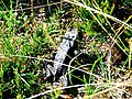 Black Toad - geograph.org.uk - 229472.jpg