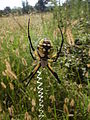 Black and Yellow Garden Spider, Argiope aurantia;giant colorful spider in Mississippi.JPG
