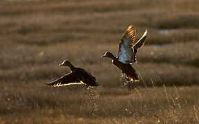 Black ducks (6701323653).jpg