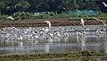 Black headed ibis 01.jpg