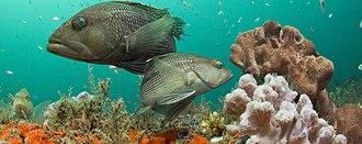 Black sea bass - Image: Black sea bass at Gray's Reef National Marine Sanctuary in Georgia