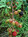 Blackberries unripe & ripe.JPG
