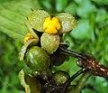 Blepharistemma serratum fruits 04.JPG