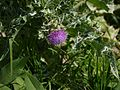 Blessed Milk Thistle (6377308057).jpg