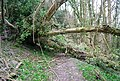 Blockage on the footpath, Hawkley Hanger - geograph.org.uk - 1202005.jpg