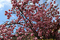 Blossoming tree detail at north of village green at Matching Green, Essex, England 01.jpg