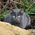Blue cat with green eyes in Norfolk, England 2007 (cropped).jpg