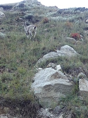 Bharal - Blue sheep or bharal is a goat species at high altitude himalayas. Photo taken from bhojwasa -gomukh