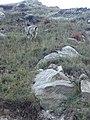 Blue sheep - bharal 02.jpg