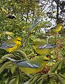 Blue winged warbler From The Crossley ID Guide Eastern Birds.jpg