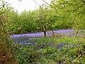 Bluebell time in Hambleton Wood - geograph.org.uk - 1277093.jpg