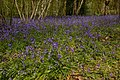 Bluebells, The Spains - geograph.org.uk - 788632.jpg