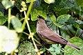 Blyth's Reed Warbler (Acrocephalus dumetorum) ഈറ്റപൊളപ്പൻ. (32302924170).jpg