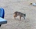 Bobcat 3 of 3 (8320359244).jpg