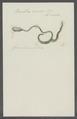 Bonellia viridis - - Print - Iconographia Zoologica - Special Collections University of Amsterdam - UBAINV0274 103 11 0006.tif