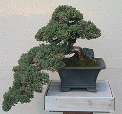 Juniperus procubems