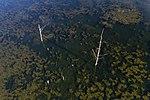Bontecou Lake aerial tamarack stumps closeup.jpg