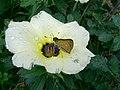 Borboleta na flor. - panoramio.jpg