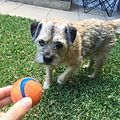 Borderterrierwithball.jpg