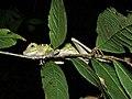 Borneo Forest Dragon (Gonocephalus bornensis) (8440949474).jpg