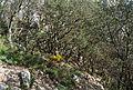 Bosc de carrasques pel Carreró del Puig Campana.jpg