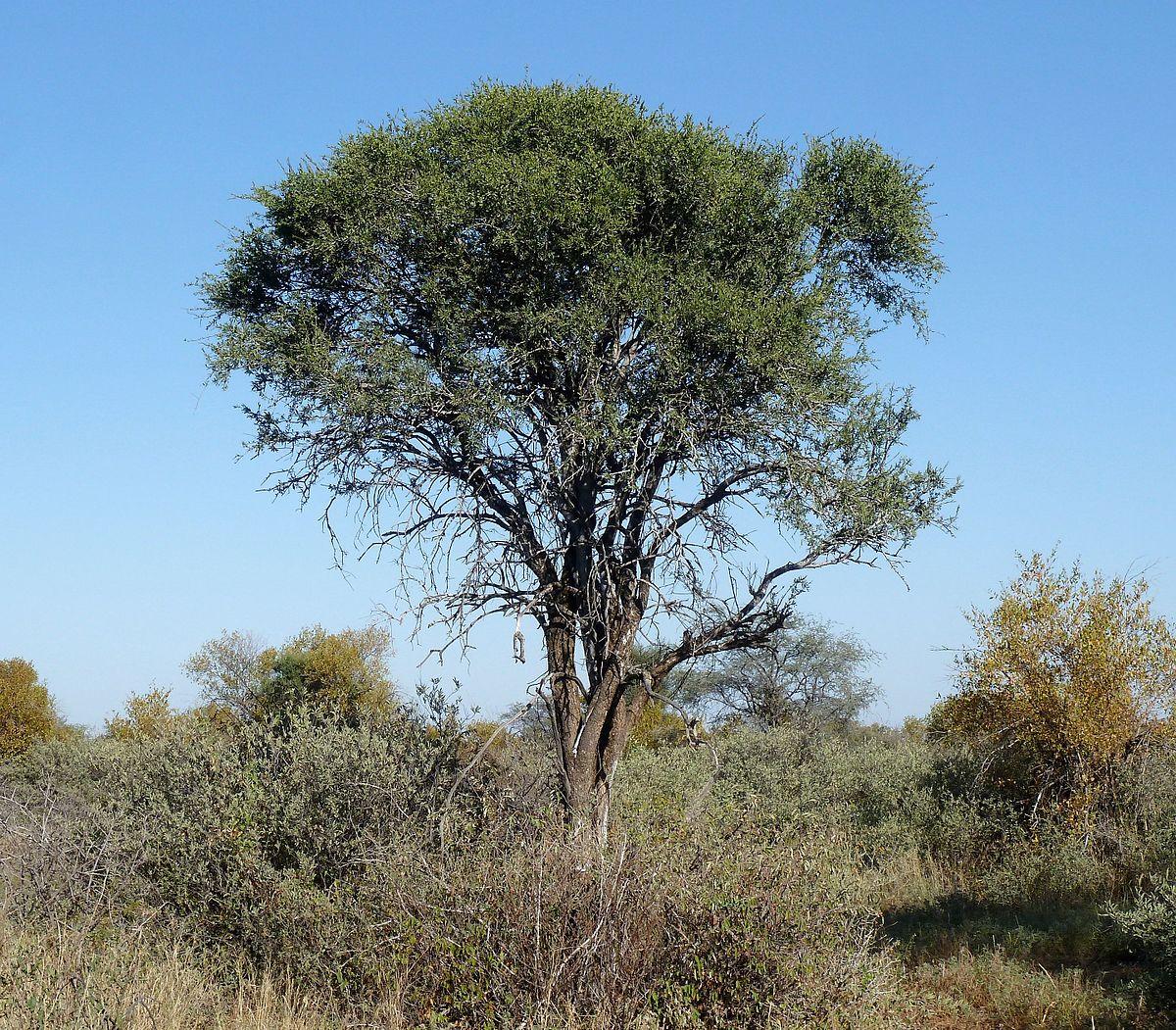 Boscia albitrunca - Wikipedia