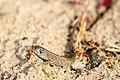 Bosmieren en een zandhagedis.jpg