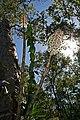 Bottlebrush Orchid - Coelandria smillieae.jpg