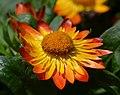 Bracteantha bracteata 'Flobrafla' Flower.JPG