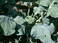 Brassica oleracea italica, Sault Ste Marie 1.JPG
